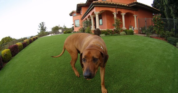 Artificial grass for a dog running area installed in a large backyard